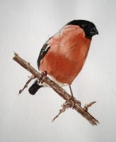Bullfinch by LikeBenjiReadingOvid