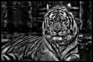 sibirian tiger by stg123