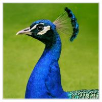 Portrait of a peacock 1 by DianePhotos