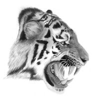 Tiger by PencilSessions