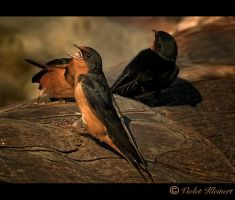 Swallows by Violet-Kleinert