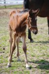 Foal Stock 81 by Vance-Equine-Stock
