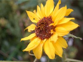 The Little Sunflower by ewensimpson