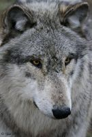 Wolf Up Close by Yair-Leibovich