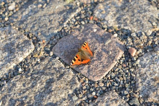 A butterfly at our street by Achumus