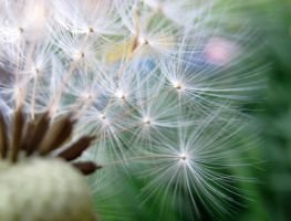 Dandelion Fluff III by Bambi-Claire