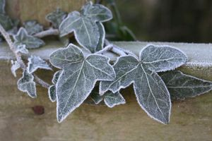 Frozen ivy STOCK by Aenyeth