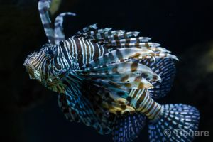 Common Lionfish by Tianare