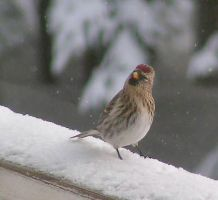 A Funny Redpoll - a Female by JocelyneR