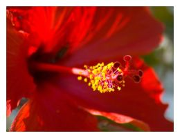 Red Hibiscus by Candyshop