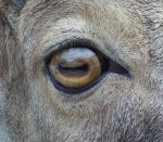 Goat eye -stock by Rainny-Stock
