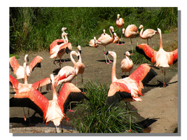 Chilean Flamingos Spreading their Wings by WillFactorMedia