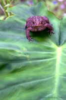 American Toad 2009 by UffdaGreg
