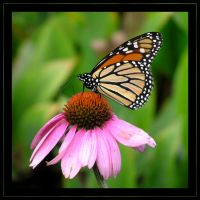 Monarch and Echinacea by MuseSusan
