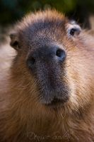 Capy Nose by DeniseSoden
