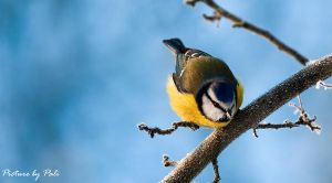 blue Tit4 by PictureByPali