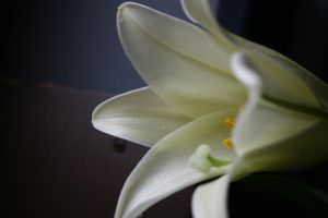 Easter lily 1 by Kikiarra