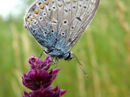 Blue Butterfly Macro by BeatrixW