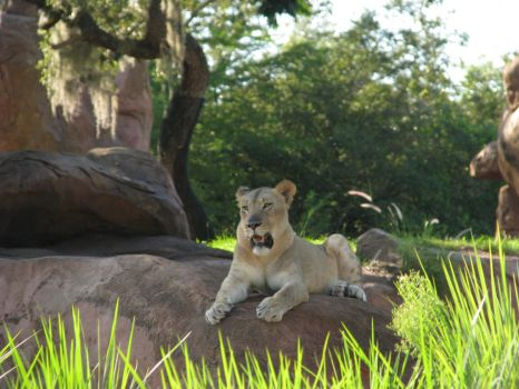 Lioness Stock by Tala-Stock