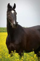 Black beauty by Diddelidon