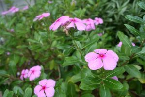 Pink flowers by hiresblur