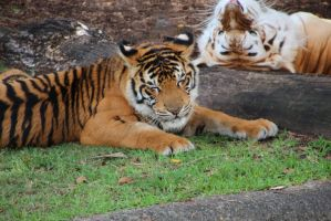 Tigers at rest by craigsarah