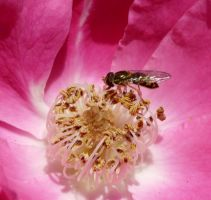 Syrphidae on rose by duggiehoo