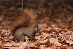 Red squirrel 2 by xstarkiller