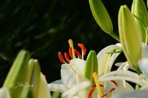 White Lily Partially Obscured by JamDebris