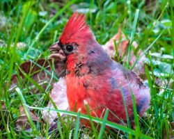 Northern Cardinal by CRGPhotography