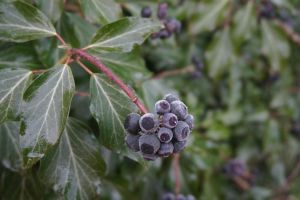 More cold berries by Mecarion