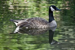 Canada Goose - 02 by PrimalOrB