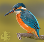 Common Kingfisher by Brainmatters