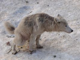 North American Arctic Wolf 111 by animalphotos