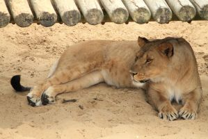 Lioness by Linay-stock