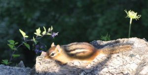 Chipmunk by tomegatherion