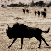 Wildebeest Run by pinballwitch