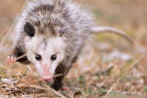 Didelphis by robbobert