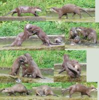 Otters PlayFighting, Running by Tasastock