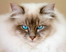 Birman death stare by amigaboi