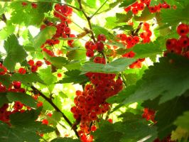 Redcurrant by Kyotoo13