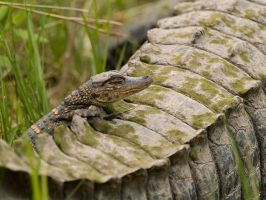 Baby Alligator on Moms Tail by budluvinpreacher