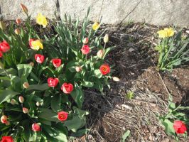Tulips in the sun by luethlover