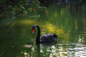 Black swan... by TheRedGirl