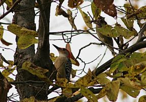 Red-Headed Woodpecker 1 by Dellessanna