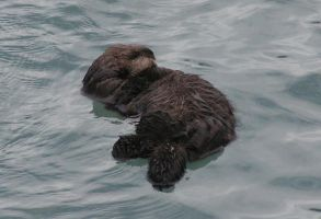 baby otter napping by DennisDawg