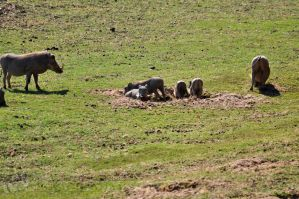 SA DAY 02-Warthog Chills by ImLookingForTime
