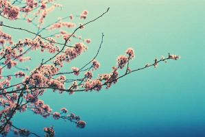 cherry blossoms 03 by gryffon