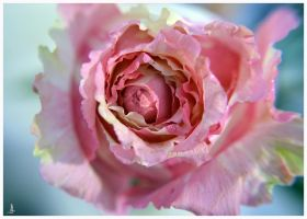 Rose 15 by jankolas