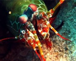 mantis shrimp 3 by yaq1xsw2